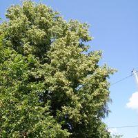 Bird_cherry_tree, Езерище