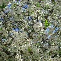 Cherry blossom, Полоцк