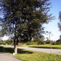 Шелковица, Брагин