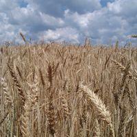 пшеничное поле, Васильевка