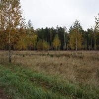 Берёзовая рощица у дороги, Житковичи