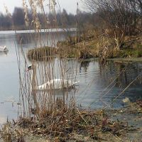 Лебеди на озере в Кировске, Октябрьский