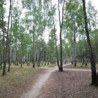 Birch grove, Светлогорск