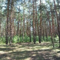 Pine forest, Светлогорск