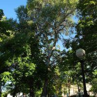 Дерево, Борисов