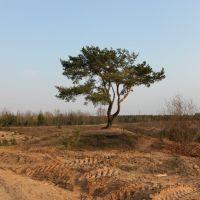 Сосна возле аэродрома, Пинск