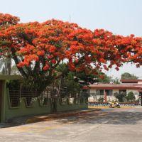 Jacaranda naranja, Кордоба