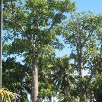 Ceiba pentandra (Ceiba, java, kapok, arbol algodon o seda), Колима