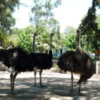 Ostriches at meeting. Morelia Zoo, Морелиа