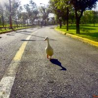 Pato deportista (Parque Ecologico, Puebla, Mexico ), Пуэбла (де Зарагоза)