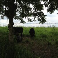 vacas, Виллахермоса