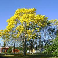 Arbol de Primavera (Estacionamiento de la Unidad Administrativa), Тапачула