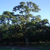 Árbol, Тукстла-Гутьеррес
