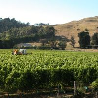 Harvesting Grapes at Esk Valley Lodge, Напир
