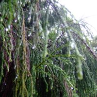 Dewy Pines, Нью-Плимут