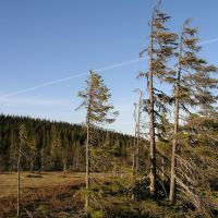 Storbacken threatened old-growth forest 4, Боде