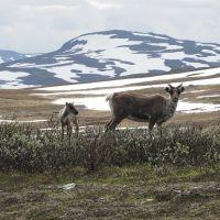 Reindeer in Stekenjokk, Боде