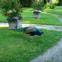 Peacock at Gulskogen Manor, Драммен