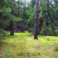 Las świerkowy, Глогов