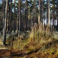Kępa traw w sosnowym lesie, Глогов