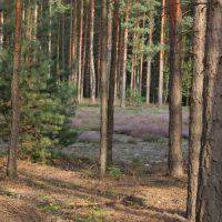 Las i  wrzosy, Згорзелец