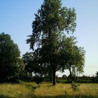 Tulipanowiec na Polanie, Олава