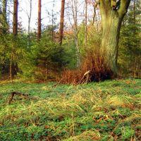 Las barwinkowy, Полковице