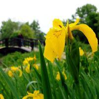 Wiosenny Kwiat / Spring Flower, Скавина
