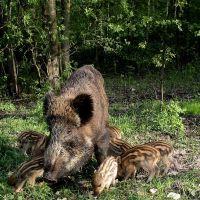 """Kobyłka ,rezerwat przyrody ,, Grabicz """"- dziki ,locha z warchlakami., Воломин"""