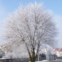 Winter tree, Остролека