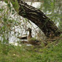 Kaczki / Ducks - Marki, Пионки