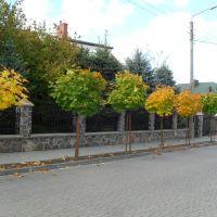 Młode klony na ul. Listopadowej, Граево