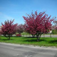 wiosna drzewa spring tree, Ломжа