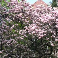 "Magnolia tree in front of the ""Grey Chemistry"" building at Silesian University of Technology in Gliwice, Гливице"