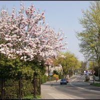 GLIWICKIE magnolie. Ul. Kosów/Kosow street, Гливице