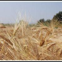 GLIWICE. Piękne kłosy jęczmienia/Beautiful ears of barley, Гливице