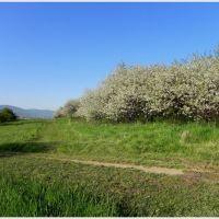 stary wiśniowy sad na Małym Grojcu, Живец