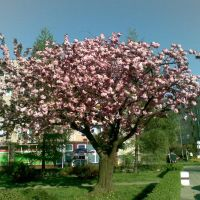 kwitnące drzewo, Рыбник