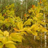 Autumnal forest, Александров-Ёдзжи