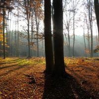 Buki w lesie Rydzyny, Згерз
