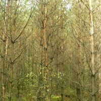 Dead forest, Серадзь