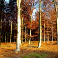 Buki w lesie Rydzyny, Серадзь