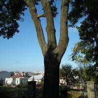 Ciekawe drzewo, Красник