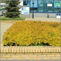Spiraea japonica Goldflame - Tawuła japońska, Пулавы