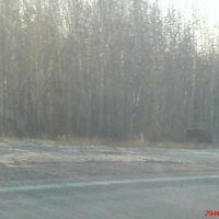 Медвежонок на трассе Радужный-Нижневартовск, Аган
