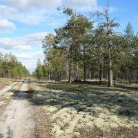 Дорога в сосновом лесу, Аган