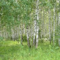 Birchwood in Zarinsk, Заринск