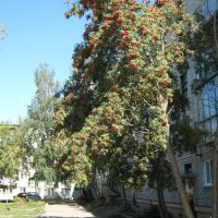 Рябина во дворе, Новоалтайск