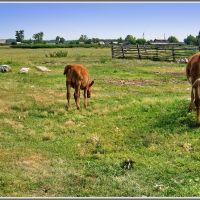 Calves   Телята, Хабары