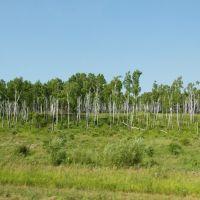 Birch Grove / Березовая роща, Ромны